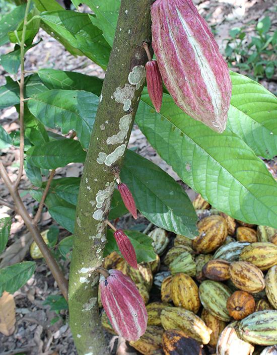 Découverte des plantations de chocolat